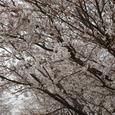 道の駅の桜並木