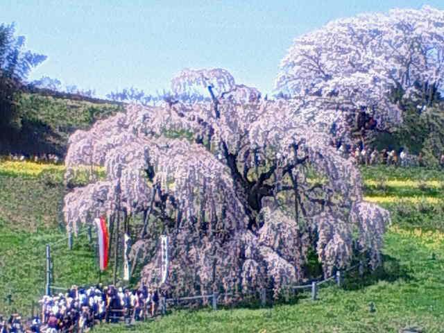 三大桜 三春の滝桜